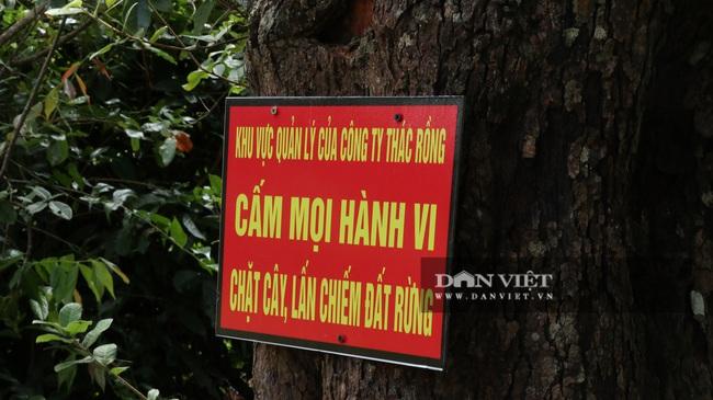 """Vụ phá hàng trăm cây thông """"khủng"""": Phó Chủ tịch UBND tỉnh chỉ đạo điều tra - Ảnh 2."""