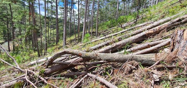 Bắt tạm giam 1 đối tượng trong vụ cưa hạ hàng trăm cây thông tại tiểu khu 132 - Ảnh 4.