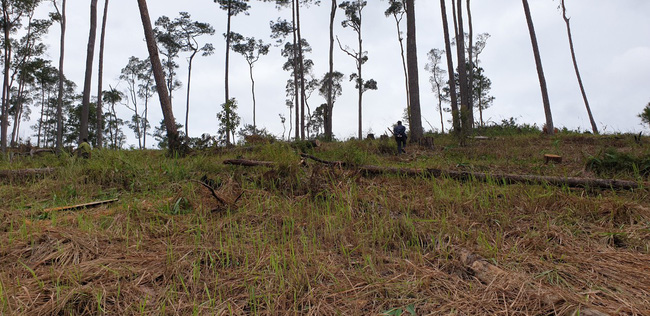 Lâm Đồng: Lại phát hiện vụ phá rừng nghiêm trọng, rộng hơn 2ha - Ảnh 2.