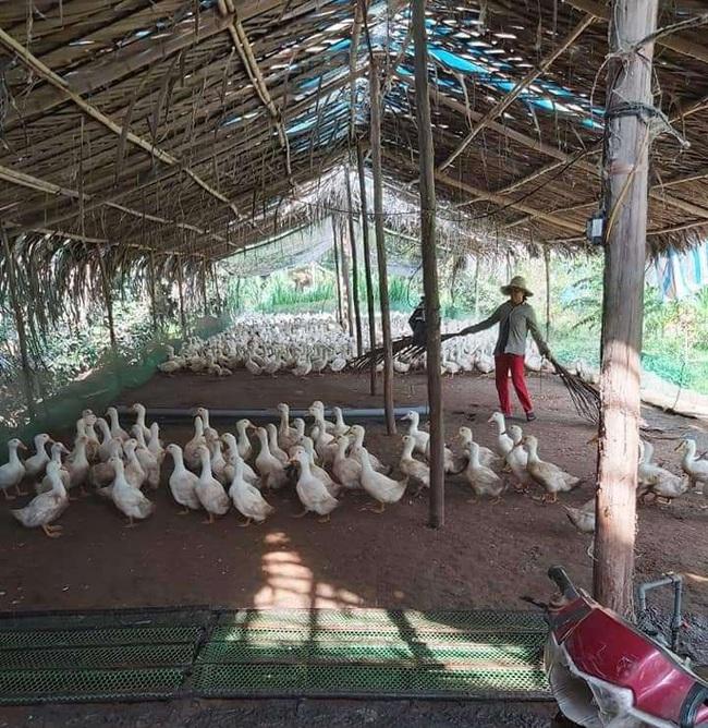 Giá gia cầm hôm nay 15/11: Gà, vịt thịt liên tục mất giá, nhiều chủ trại không tái đàn vụ Tết - Ảnh 1.