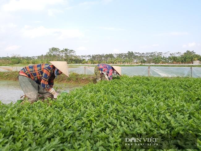 """Hà Nội: Ở xã này trồng thứ rau gì mà mỗi ngày cắt bán hàng tạ, nông dân """"bỏ túi"""" tiền triệu. - Ảnh 1."""