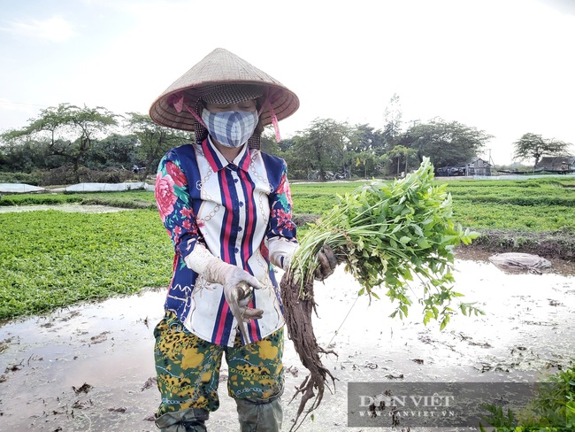 """Hà Nội: Ở xã này trồng thứ rau gì mà mỗi ngày cắt bán hàng tạ, nông dân """"bỏ túi"""" tiền triệu. - Ảnh 2."""