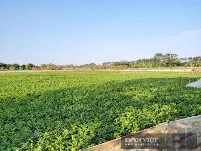 """Hà Nội: Ở xã này trồng thứ rau gì mà mỗi ngày cắt bán hàng tạ, nông dân """"bỏ túi"""" tiền triệu. - Ảnh 3."""
