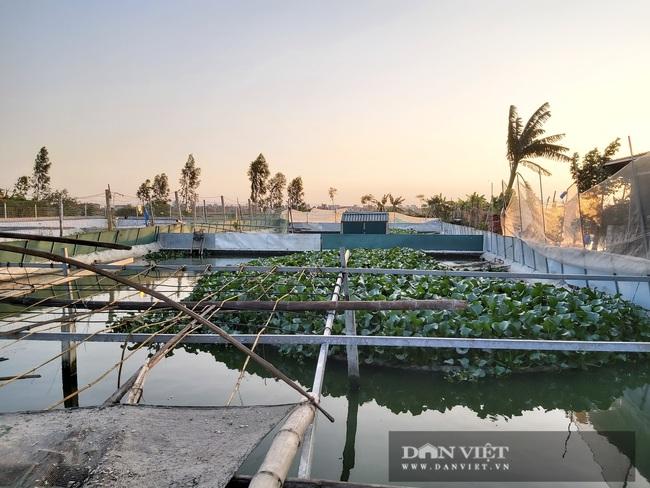 Hà Nội: Cho ba ba gai sống chung với cá chuối hoa, ông nông dân này nuôi nhàn tênh, bán giá nửa triệu đồng/kg - Ảnh 7.