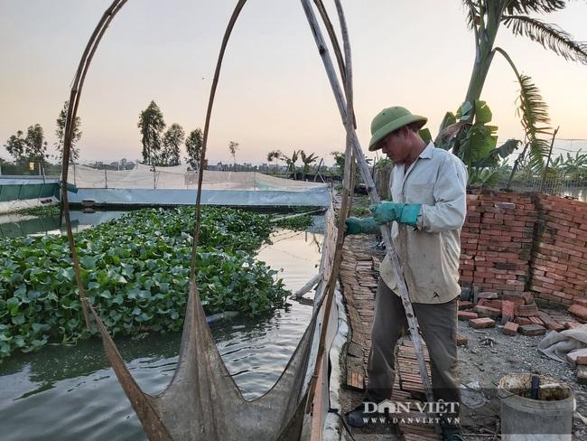 Hà Nội: Cho ba ba gai sống chung với cá chuối hoa, ông nông dân này nuôi nhàn tênh, bán giá nửa triệu đồng/kg - Ảnh 5.