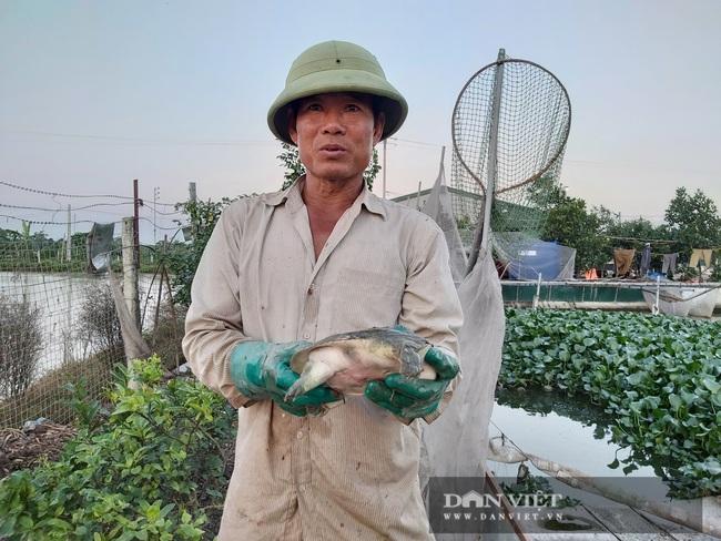 Hà Nội: Cho ba ba gai sống chung với cá chuối hoa, ông nông dân này nuôi nhàn tênh, bán giá nửa triệu đồng/kg - Ảnh 1.