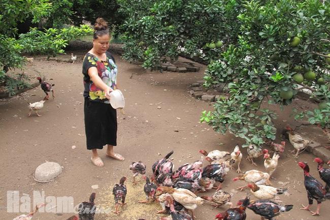 Hà Nam: Gà Móng đặc sản thơm ngon quý hiếm như vậy, vì sao cả xã chỉ có vài chục hộ nuôi? - Ảnh 1.