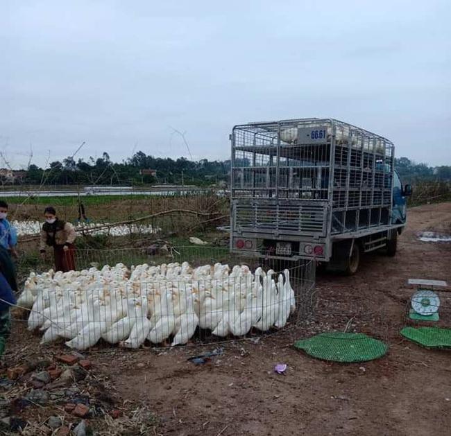 Giá gia cầm hôm nay 20/11: Gà thịt công nghiệp tăng nhẹ, người nuôi vịt vẫn chịu thua lỗ nhiều - Ảnh 3.