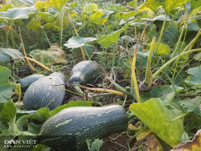 Nông dân xứ Lạng trồng bí đỏ tăng thu nhập và cải thiện dinh dưỡng - Ảnh 2.