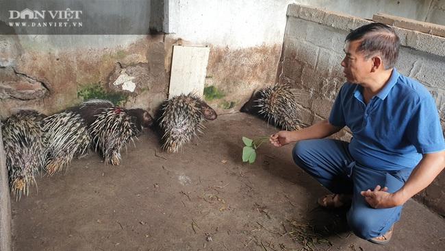 Thái Bình: Nuôi nhím, lợn rừng, đại tá về hưu kiếm hàng trăm triệu đồng mỗi năm  - Ảnh 4.