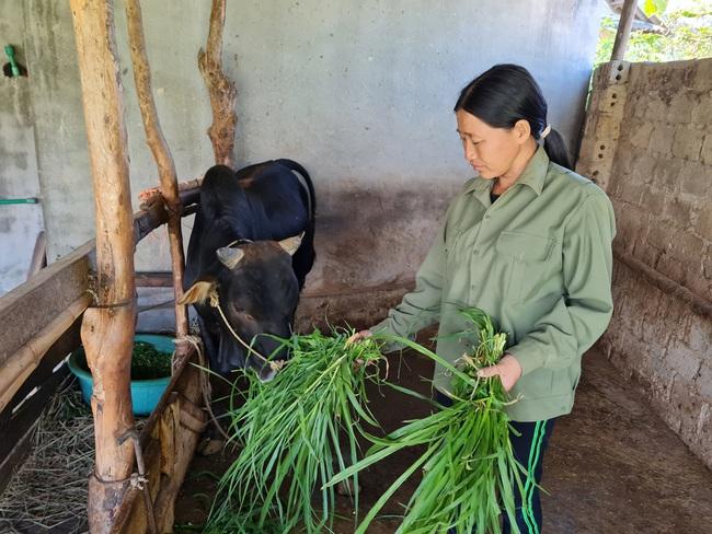Điện Biên: Bà nông dân hô biến trâu, bò gầy thành béo, thu vài trăm triệu mỗi năm - Ảnh 1.