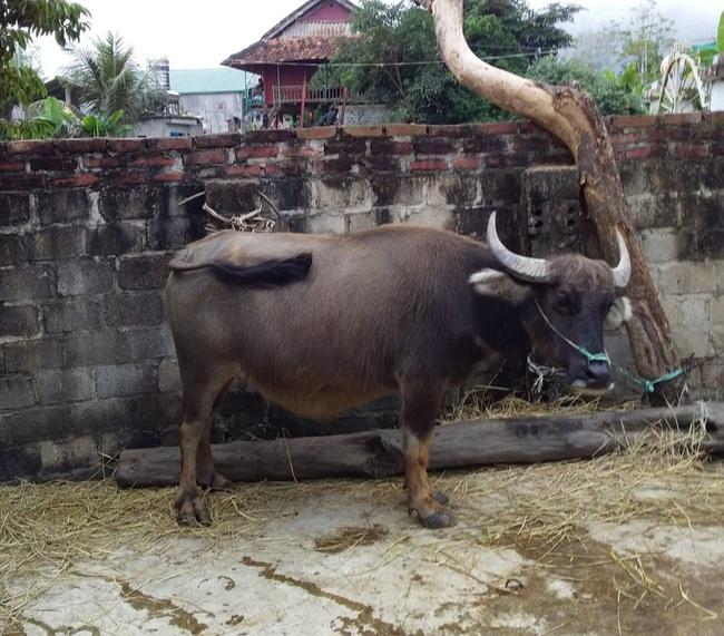 Điện Biên: Bà nông dân hô biến trâu, bò gầy thành béo, thu vài trăm triệu mỗi năm - Ảnh 2.