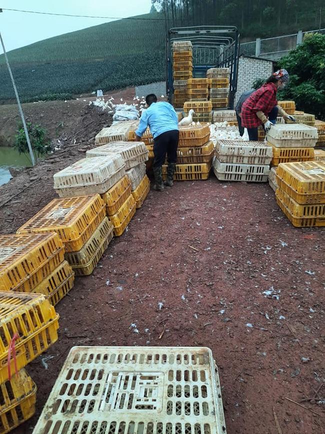 """Giá gia cầm hôm nay 24/11: Hàng dễ bán, người nuôi gà thịt công nghiệp phấn khởi, vịt thịt vẫn """"im lìm"""" - Ảnh 1."""