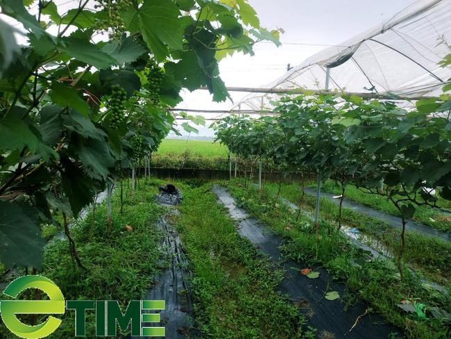 9X trồng cây ra từng chùm quả to bằng ngón tay cái, người dân tò mò đến xem - Ảnh 2.