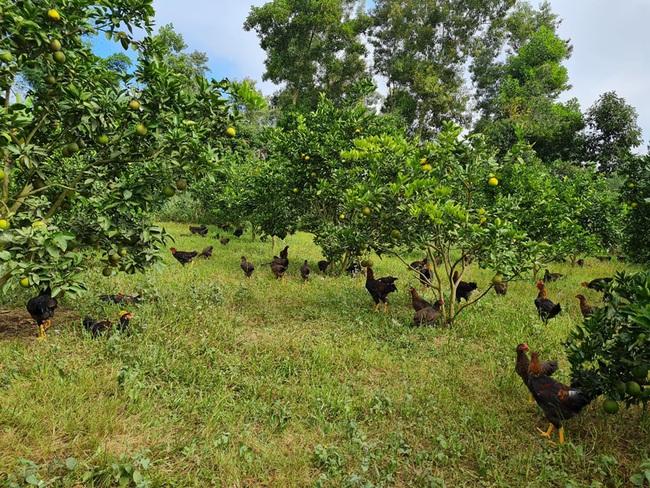 Điện Biên: Thầy giáo mát tay nuôi gà, trồng cây ăn quả thu vài trăm triệu mỗi năm - Ảnh 3.