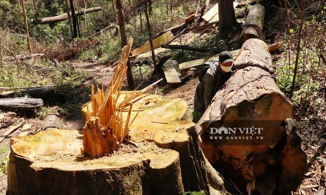 Vụ rừng bạch tùng trăm tuổi bị cưa hạ, tỉnh Lâm Đồng chỉ đạo khẩn - Ảnh 2.