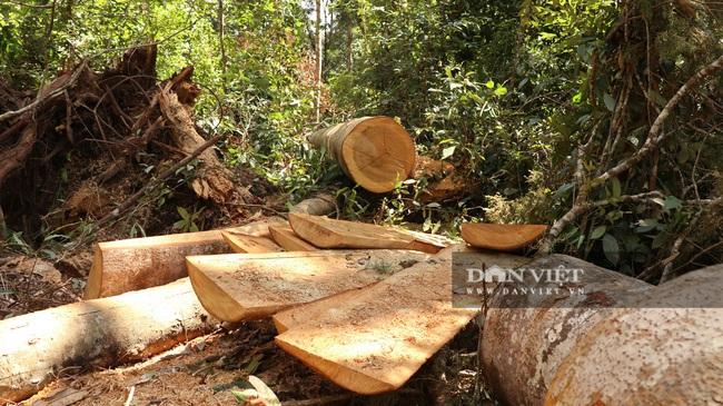 Vụ rừng bạch tùng trăm tuổi bị cưa hạ, tỉnh Lâm Đồng chỉ đạo khẩn - Ảnh 5.