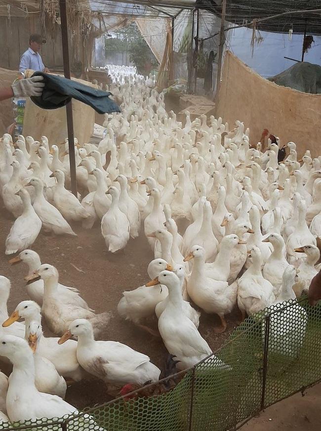 """Giá gia cầm hôm nay 27/11: Gà thịt công nghiệp """"im lìm"""", vịt thịt nằm đầy chuồng ngóng thương lái - Ảnh 1."""