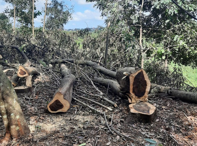 """Phá hơn 200 cây xanh trong KCN, lãnh đạo công ty nói """"dọn dẹp để trả lại mặt bằng"""" - Ảnh 2."""