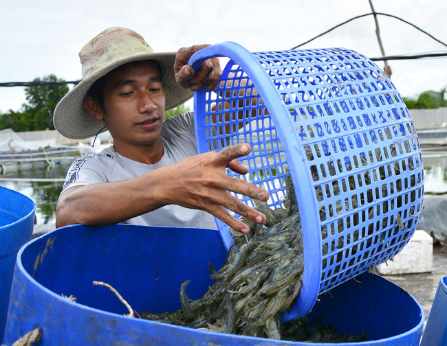 Kiên Giang: Thay đổi thói quen canh tác, nông dân thu lãi khủng từ con tôm - Ảnh 2.
