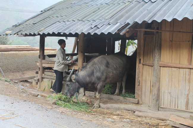 Nông dân Bắc Hà (Lào Cai): Chủ động phòng chống đói, rét cho gia súc - Ảnh 1.