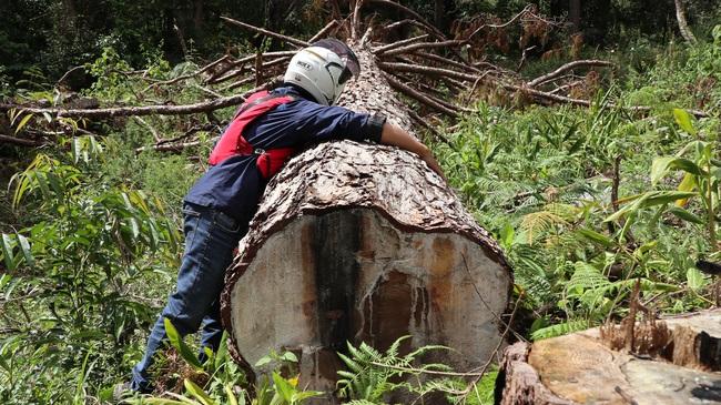 Bắt tạm giam 1 đối tượng trong vụ cưa hạ hàng trăm cây thông tại tiểu khu 132 - Ảnh 2.