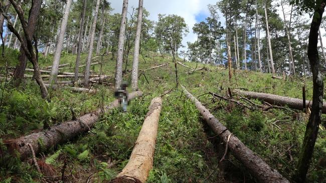 """Nhiều đơn vị vào cuộc điều tra vụ rừng thông """"khủng"""" bị cưa hạ - Ảnh 5."""