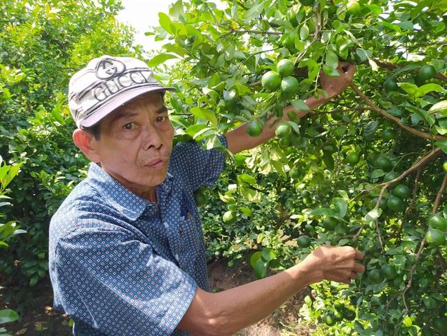Đồng Tháp: Một ông nông dân kéo cả làng làm giàu nhờ trồng chanh cho quả trái vụ - Ảnh 3.