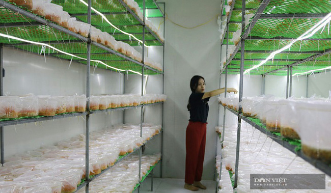 Hà Nội: Trai trẻ là kỹ sư điện về quê trồng loài nấm gì mà bán 750.000 đồng/hộp, ai cũng muốn đến xem thử - Ảnh 7.