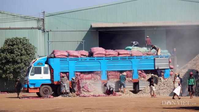 """Nhiều nhà máy chế biến sắn bị """"đe doạ"""" vì đói hàng, giá sắn tươi, sắn khô đồng loạt tăng - Ảnh 1."""