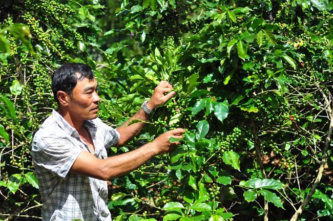 Tập trung phát triển cà phê chất lượng cao - Ảnh 1.