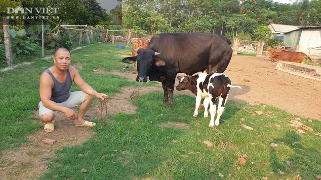 """Thái Bình: Trồng cỏ nuôi đàn bò """"siêu khổng lồ"""", mỗi năm bỏ túi tiền tỷ - Ảnh 3."""