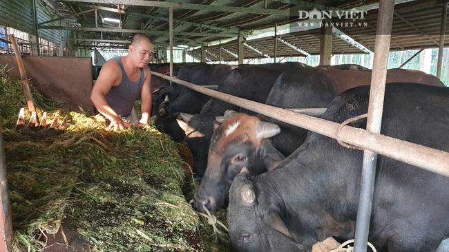 """Thái Bình: Trồng cỏ nuôi đàn bò """"siêu khổng lồ"""", mỗi năm bỏ túi tiền tỷ - Ảnh 1."""