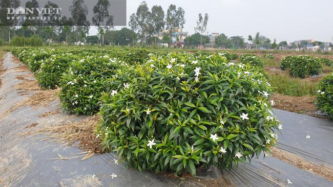 Thái Bình: Trồng bạt ngàn hoa, cây cảnh trên ruộng trũng bỏ hoang, 8x có cơ ngơi tiền tỷ - Ảnh 8.