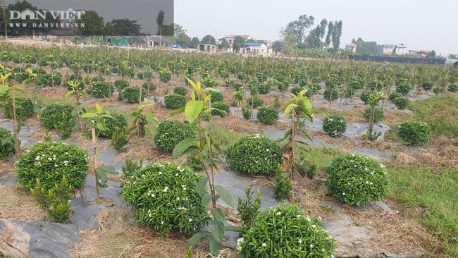 Thái Bình: Trồng bạt ngàn hoa, cây cảnh trên ruộng trũng bỏ hoang, 8x có cơ ngơi tiền tỷ - Ảnh 5.