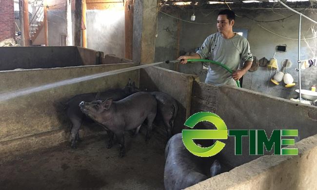 Yên Bái: Anh nông dân nấu thứ nước cay cay lấy bã nuôi lợn mà mỗi năm thu trên 200 triệu đồng - Ảnh 1.