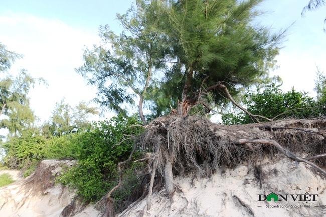 """""""Cát tặc""""phá nát rừng phi lao ven biển ở Ninh Thuận - Ảnh 5."""