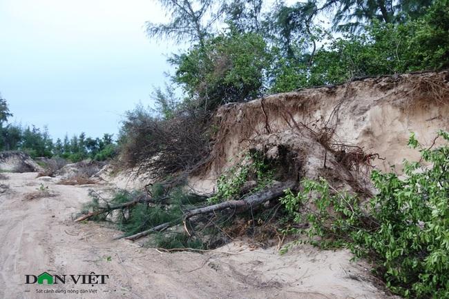 """""""Cát tặc""""phá nát rừng phi lao ven biển ở Ninh Thuận - Ảnh 2."""