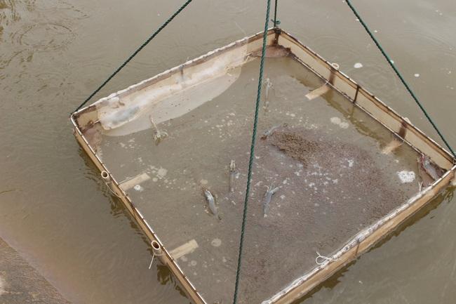 Thăm trang trại cung cấp tôm, cá sạch, thương lái mê tít cho thu hoạch tiền tỷ mỗi năm của lão nông Nam Định - Ảnh 5.