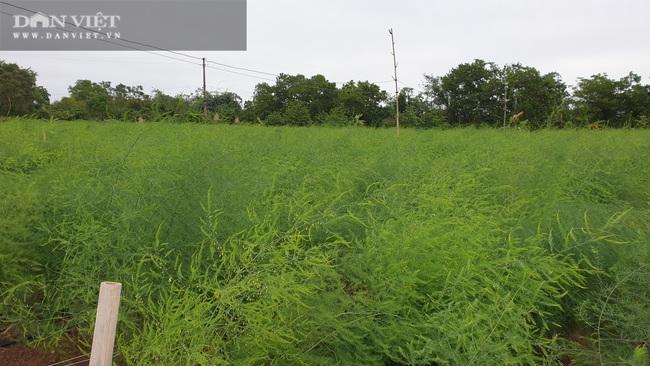 Nam Định: Ra giữa đảo trồng măng tây, lão nông bỏ túi hàng chục triệu đồng/tháng. - Ảnh 3.