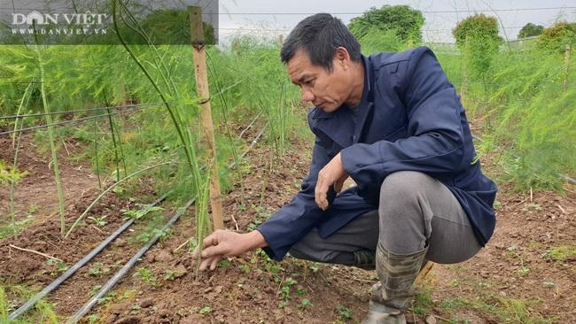 Nam Định: Ra giữa đảo trồng măng tây, lão nông bỏ túi hàng chục triệu đồng/tháng. - Ảnh 5.
