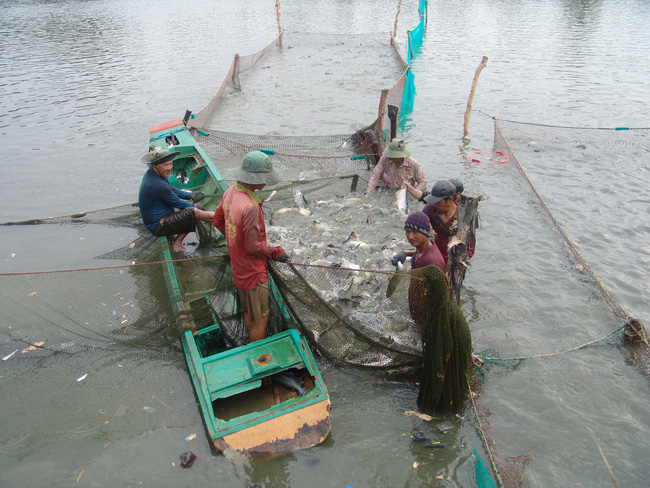 Xóm nghèo đổi đời nhờ con cá tra - Ảnh 1.