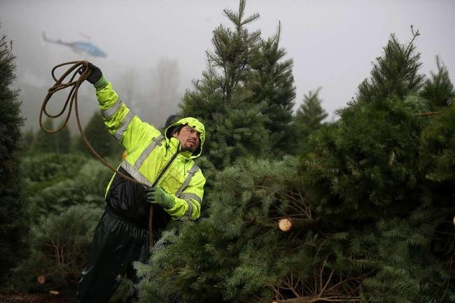 Thu hoạch hàng triệu cây thông Giáng sinh chỉ nhờ... trực thăng - Ảnh 2.