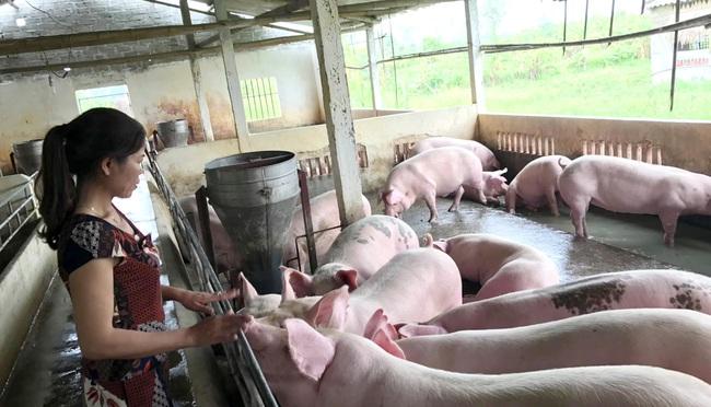 Nông hộ nuôi lợn thấp thỏm lo vụ tết  - Ảnh 1.