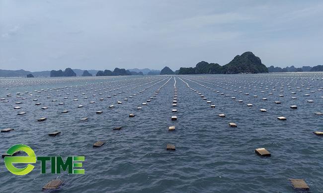 Quảng Ninh: Tăng cường kiểm soát, quản lý nguồn cung ứng giống nhuyễn thể  - Ảnh 2.
