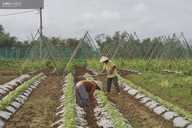 Quảng Nam: Làng rau VietGap lớn nhất vùng tất bật vụ Tết - Ảnh 1.