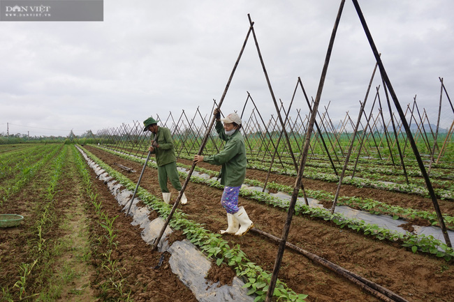 Quảng Nam: Làng rau VietGap lớn nhất vùng tất bật vụ Tết - Ảnh 3.