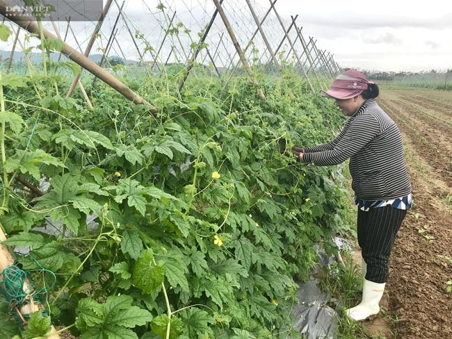 Quảng Nam: Làng rau VietGap lớn nhất vùng tất bật vụ Tết - Ảnh 5.