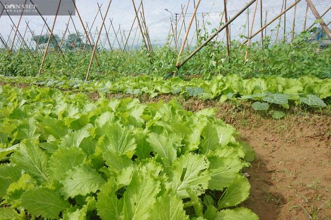 Quảng Nam: Làng rau VietGap lớn nhất vùng tất bật vụ Tết - Ảnh 7.