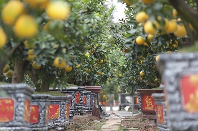 Đeo lúc lỉu hơn 200 quả trên cây: Bưởi cảnh khổng lồ 'hét' giá cho thuê gần 100 triệu đồng - Ảnh 2.